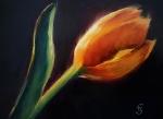 5-6-173-tulip