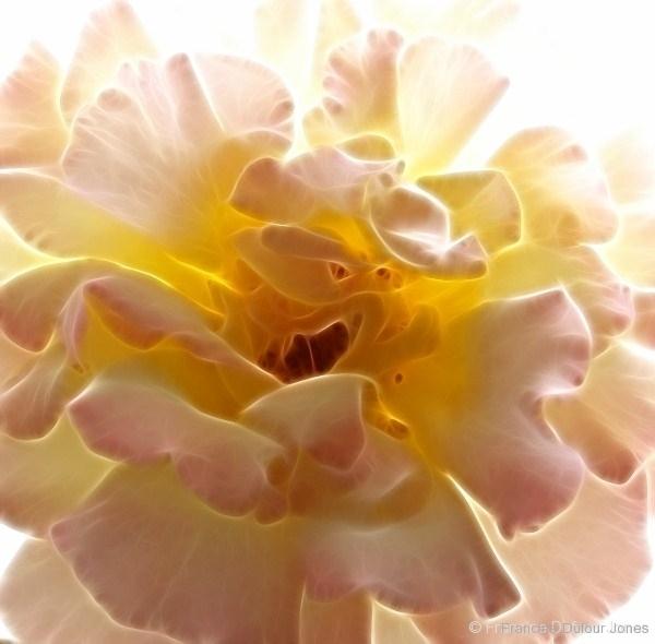 backlit-rose20x20lf