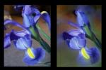 02-Iris Dream