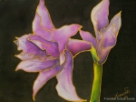 amaryllis_in_silk